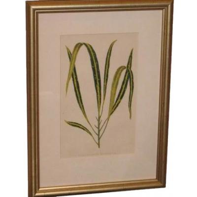 Antique Lowe Leaf Specimin Etching